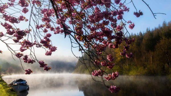 Cherry Blossom Tree by the River Barrow